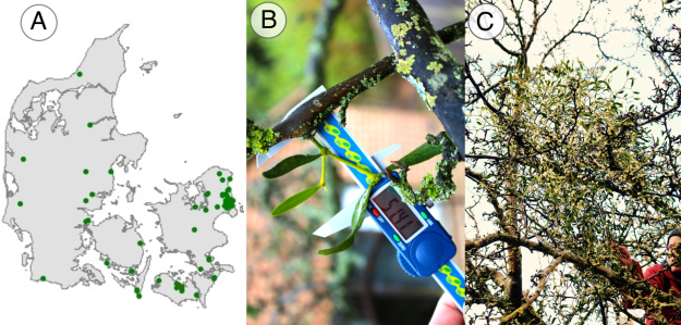 Mistletoe in Denmark (A); A new recruit to the study (B); A mature mistletoe plant (C).